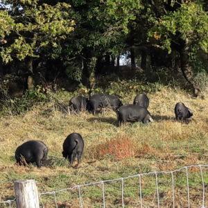 LA FERME DU MONTET – Elevage bio de porc et agneaux